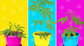 Weed Competition To Judge Genetically Identical Plants