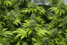 Canada Allows MMJ Patients to Grow Cannabis in Their Homes