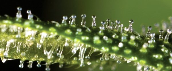 Blame Cannabinoids For Giving You That Sweet, Sweet High